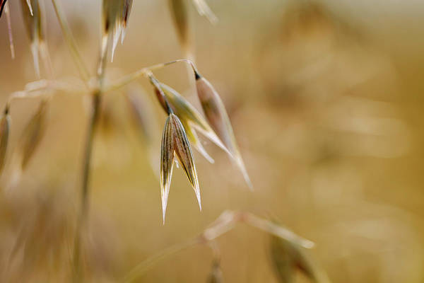 Wall Art - Photograph - Summer Oat by Nailia Schwarz