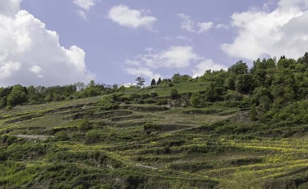 Wild Grape Photograph - Oberwesel Terraced Vineyards by Teresa Mucha