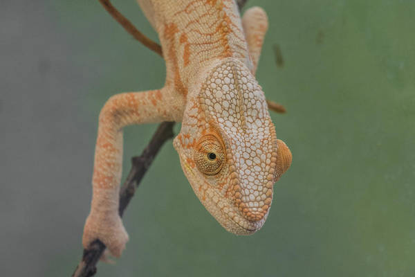 Wall Art - Photograph - Observations Of A Cameleon by Rabiri Us