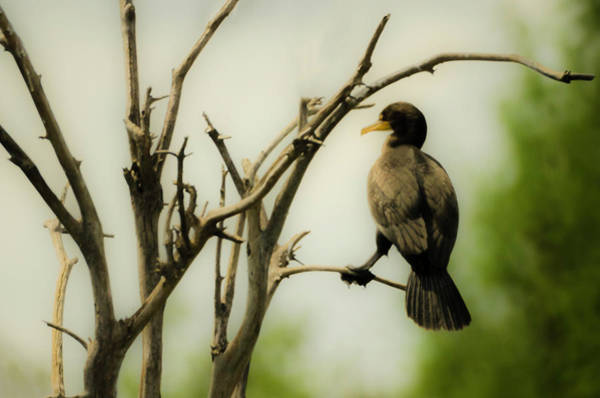 Photograph - Observing Cormorant by Wolfgang Stocker