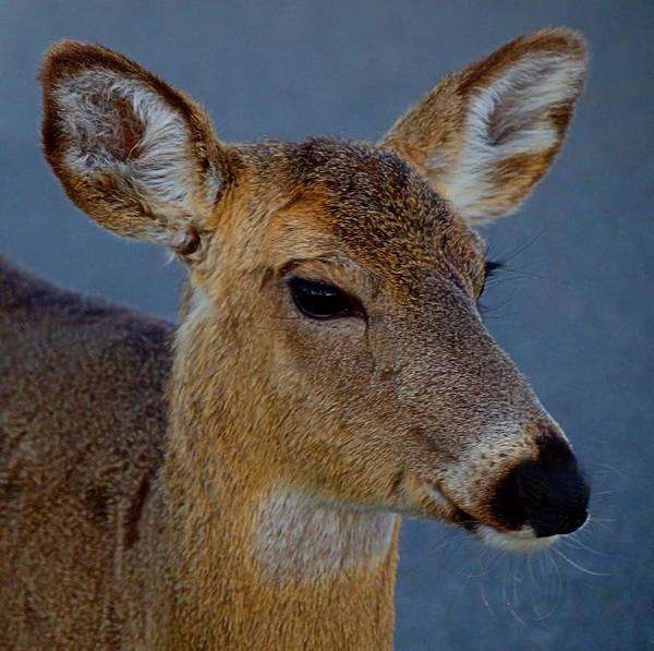 Photograph - Ocean Deer I I I by  Newwwman
