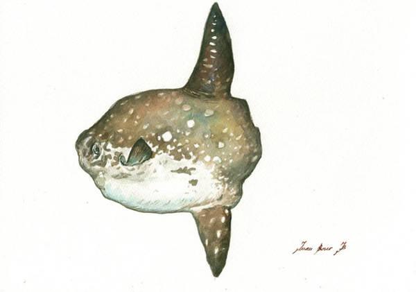 Wall Art - Painting - Ocean Sunfish Mola Mola by Juan Bosco