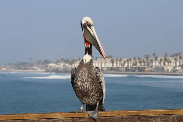 Photograph - Oceanside Pelican - 4 by Christy Pooschke