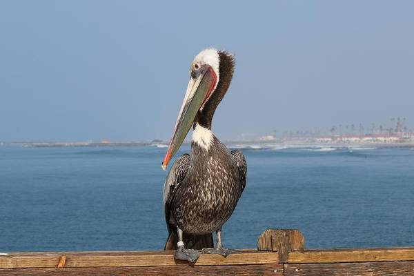 Photograph - Oceanside Pelican - 5 by Christy Pooschke