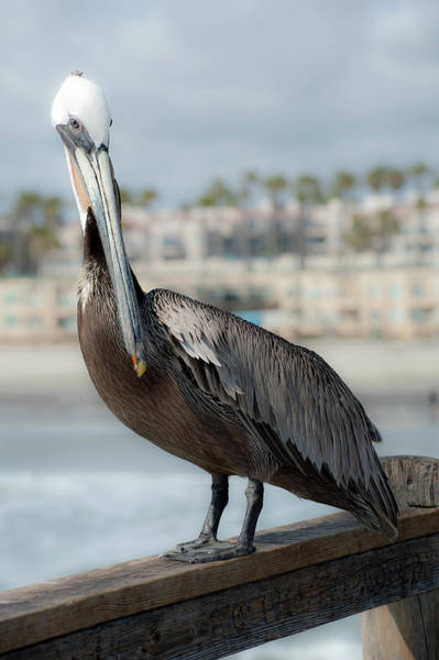 Photograph - Oceanside Pelican by Windy Osborn