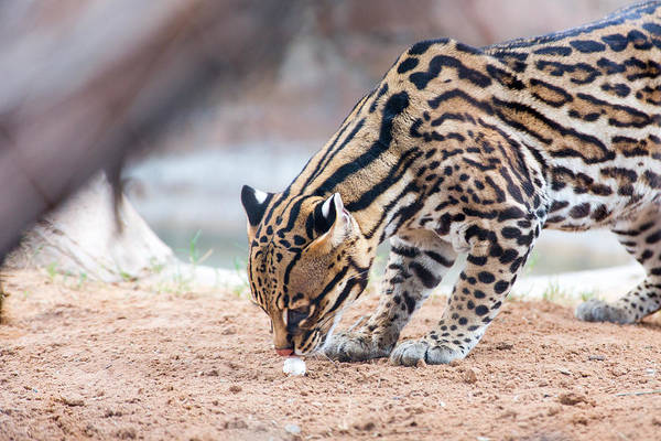 Photograph - Ocelot And Egg by SR Green