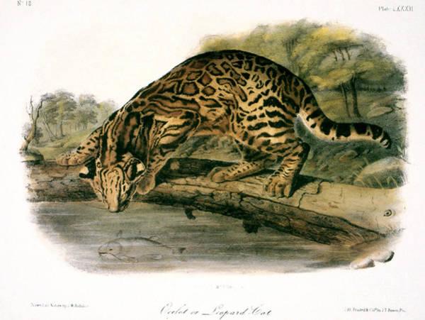 Audubon Wall Art - Photograph - Ocelot (felis Pardalis) by Granger