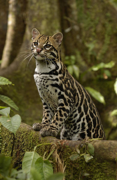 Photograph - Ocelot Leopardus Pardalis Standing by Pete Oxford