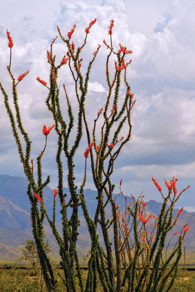 Photograph - Ocotillo Blooming Under Cloudy Skies by Bonnie Follett