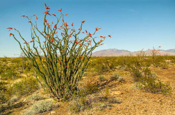 Photograph - Ocotillo by Harold Coleman