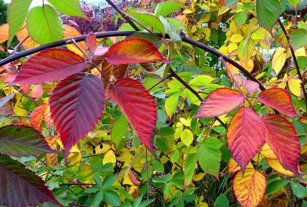 Wall Art - Photograph - October Blackberry Leaves by Will Borden