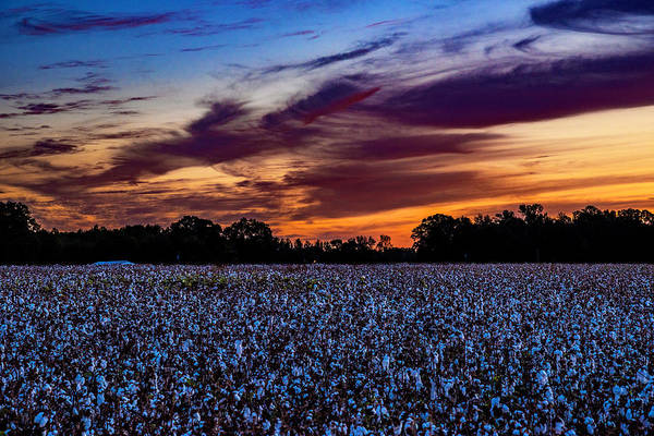 Photograph - October Cotton by John Harding