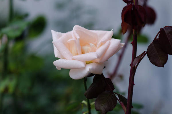 Photograph - October Rose by Miguel Winterpacht