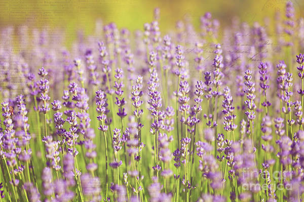 Photograph - Ode To Lavender by Beve Brown-Clark Photography