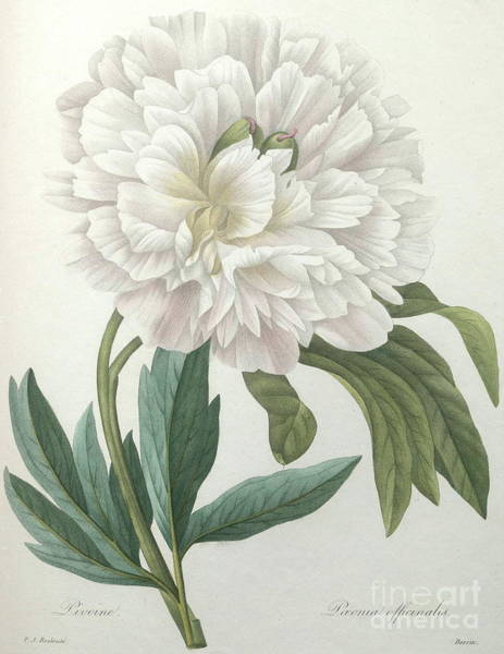 Wall Art - Painting - Official Peony by Pierre Joseph Redoute