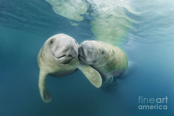 West Indian Manatee Photograph - Oh My Darling by Norbert Probst