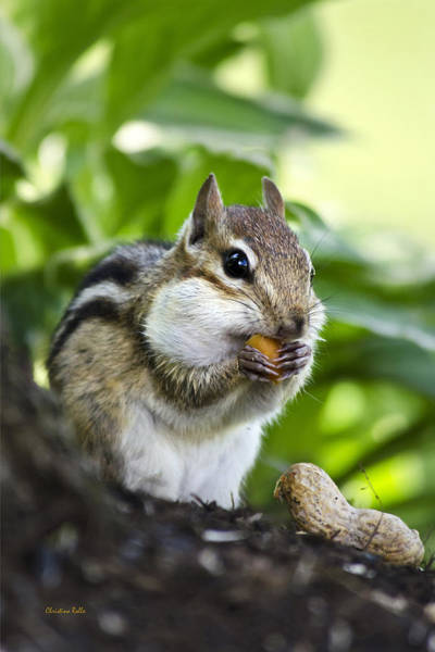Photograph - Oh Nuts by Christina Rollo