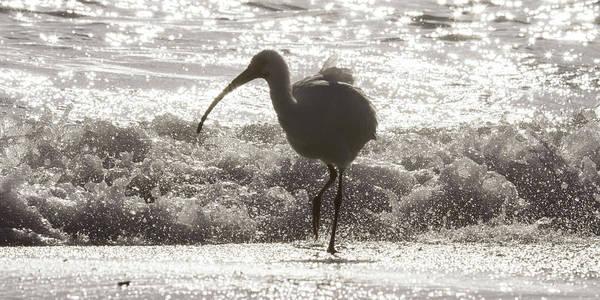 White Ibis Wall Art - Photograph - Oh Splash Me Cortez Beach by Betsy Knapp