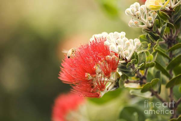 Ohia Photograph - Ohia Lehua And Bee by Ron Dahlquist - Printscapes
