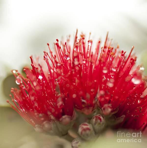 Photograph - Ohia Lehua Flower by Charmian Vistaunet