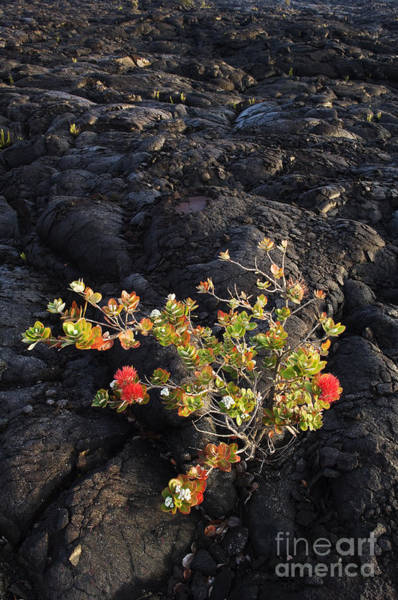 Ohia Photograph - Ohia Lehua by Greg Vaughn - Printscapes