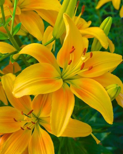 Photograph - Ohio Lily by Polly Castor