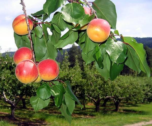 Okanagan Valley Digital Art - Okanagan Apricots by Will Borden