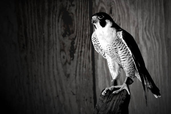 Okeeheelee Park Photograph - Rescued Okeeheelee Falcon In Black And White by Luis Aponte