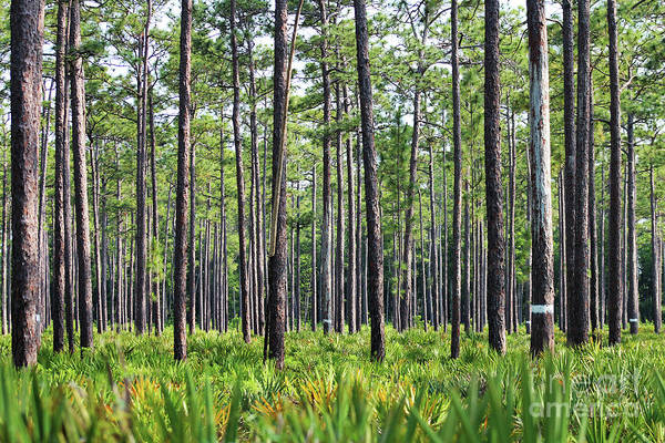 Southern Uplands Wall Art - Photograph - Okefenokee Uplands With A Nest Cavity Tree by Maili Page