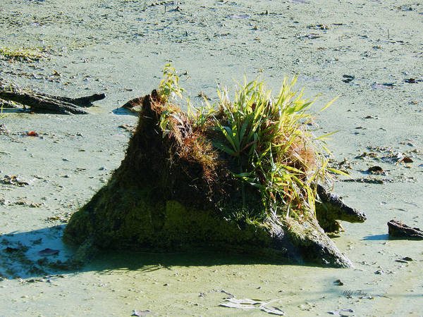 Photograph - Ol Swampy Stump by Wild Thing