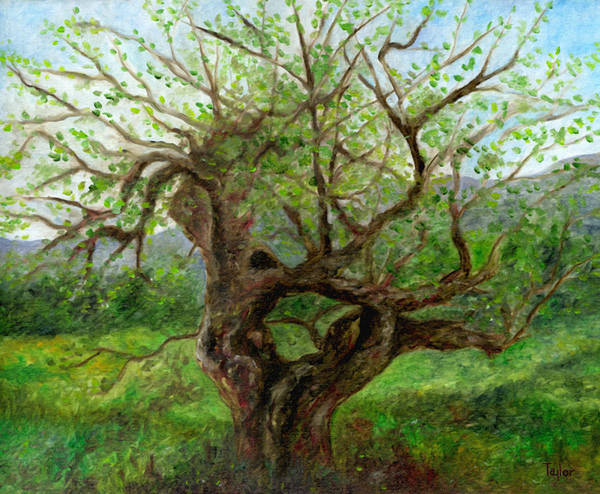 Old Apple Tree Art Print