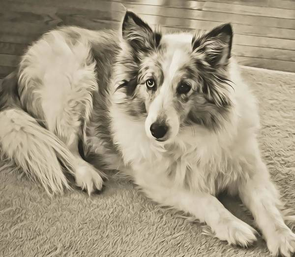Photograph - Old Blue Merle by JAMART Photography
