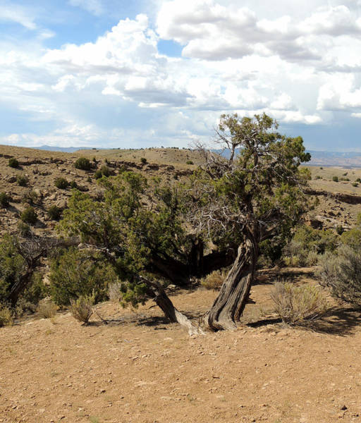 Photograph - Old Desert Trees In July by Andrew Chambers