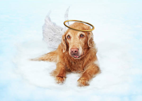 Wall Art - Photograph - Old Dog Angel On Cloud In Heaven by Susan Schmitz