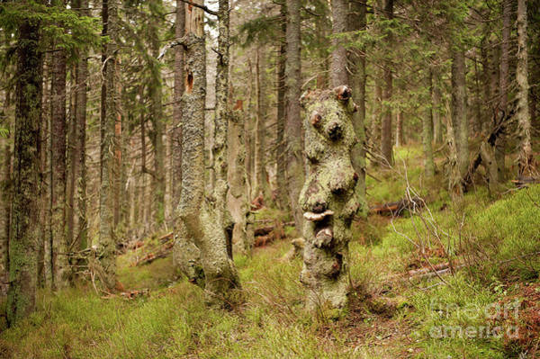 Wall Art - Photograph - Old Forest In Babia Gora by Arletta Cwalina