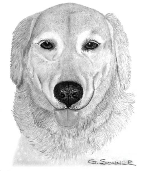 Golden Retriever Drawing - Old Golden by George Sonner