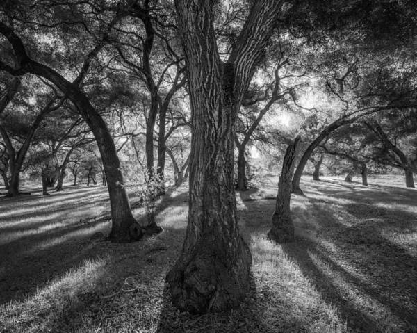 Coast Live Oak Photograph - Old Grace by Alexander Kunz