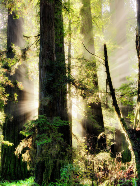 Wall Art - Photograph - Old Growth Forest Light by Leland D Howard