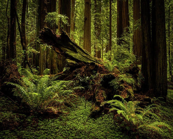 Photograph - Old Growth Forest by TL Mair