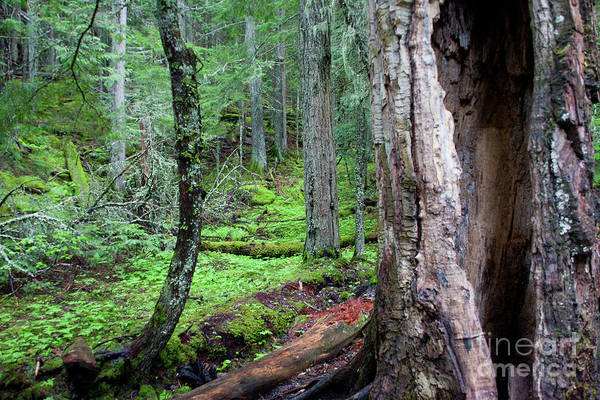 Photograph - Old Growth by Katie LaSalle-Lowery