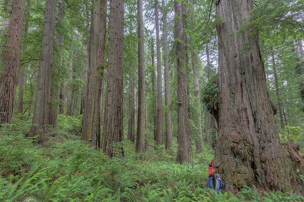 Redwood City Wall Art - Photograph - Old Growth Redwoods, Redwood National Park, California by Paul Schultz