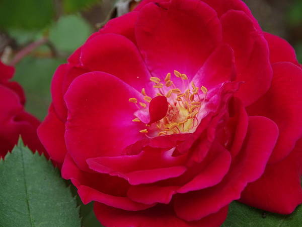 Wall Art - Photograph - Old Homestead Rose by Mary Halpin