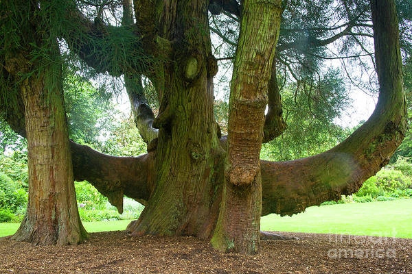 Photograph - Old Huge Tree by Heiko Koehrer-Wagner