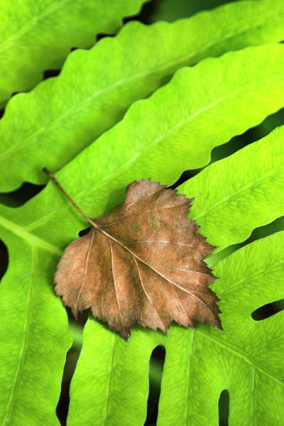Photograph - Old Leaf New Leaf by Christina Rollo