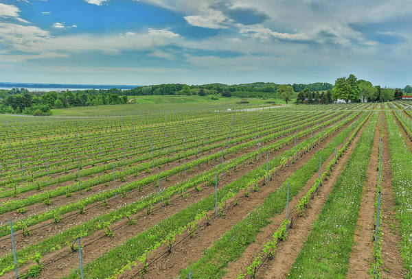 Photograph - Old Mission Peninsula Vineyard by Dan Sproul