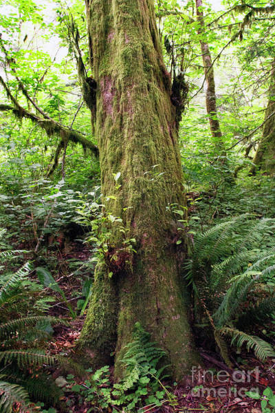 Photograph - Old Moss Tree by Craig J Satterlee
