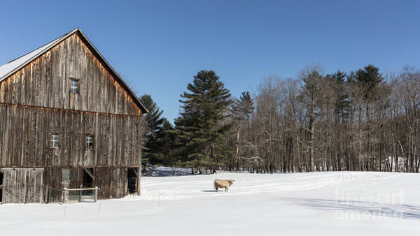 Photograph - Old New England Barn And Cow In Winter by Edward Fielding