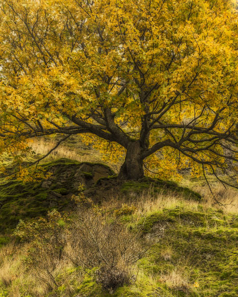 Photograph - Old Oak In Autumn by Loree Johnson
