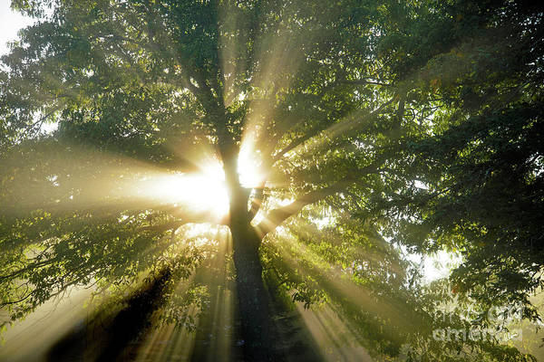 Photograph - Old Oak Tree by Alana Ranney