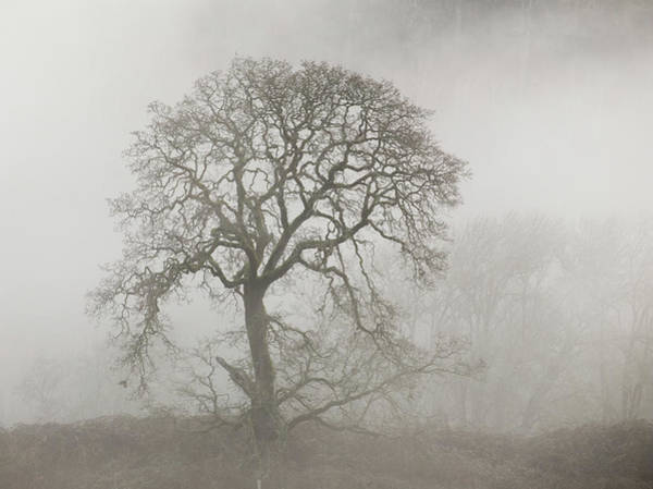 Wall Art - Photograph - Old Oak Tree And Fog by Angie Vogel